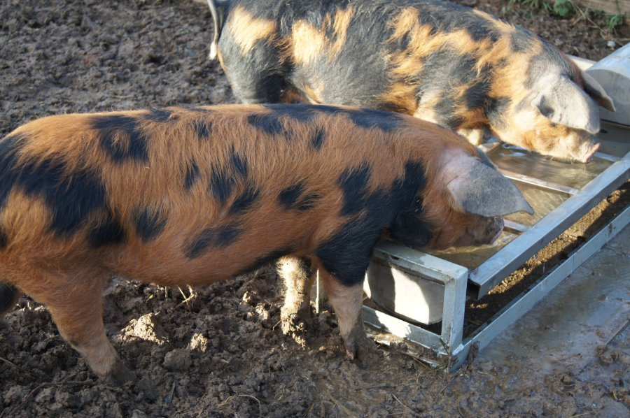 Smallholders, pet pig keepers and hobby keepers are urged to take part in Defra's survey