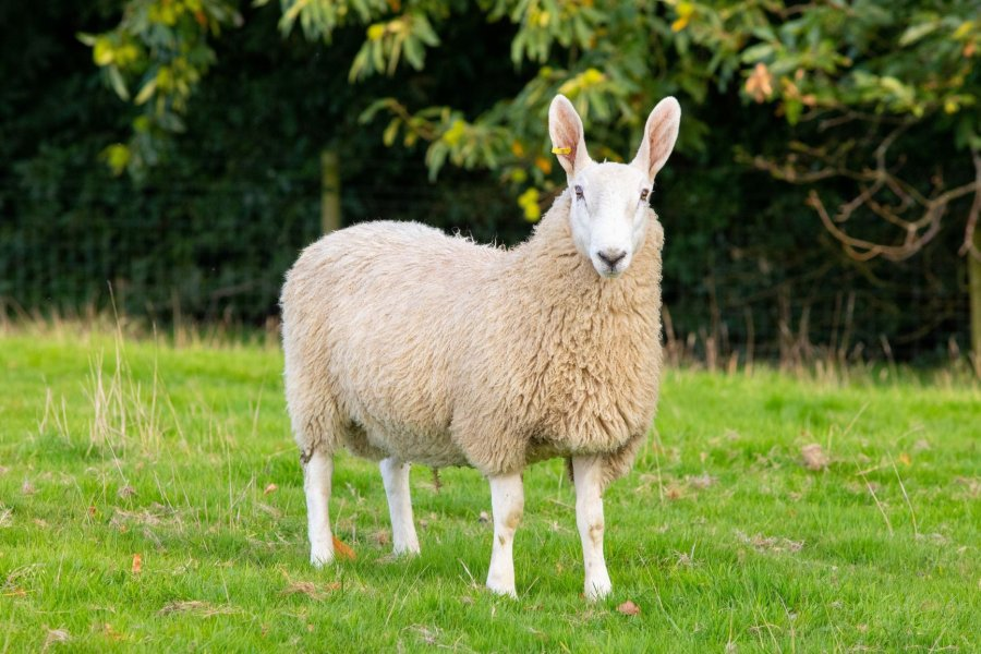 Farmers have been told to keep registering rare breeds despite the Covid-19 crisis and its impact on summer shows and sales