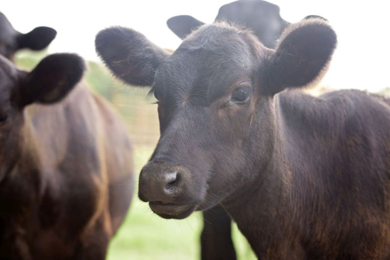 The figures may show a positive sign for the future of the beef industry in Wales, according to analysis