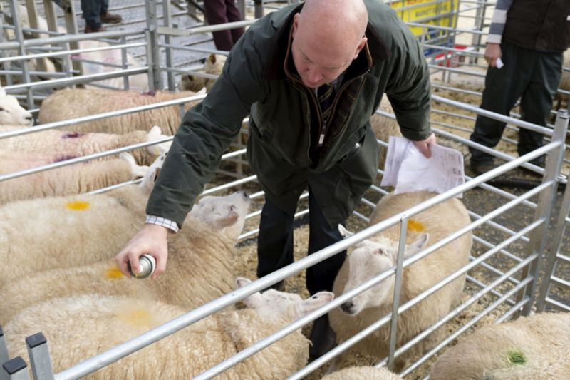 Auctioneers say livestock auction marts guarantee farmers better protection than private sales