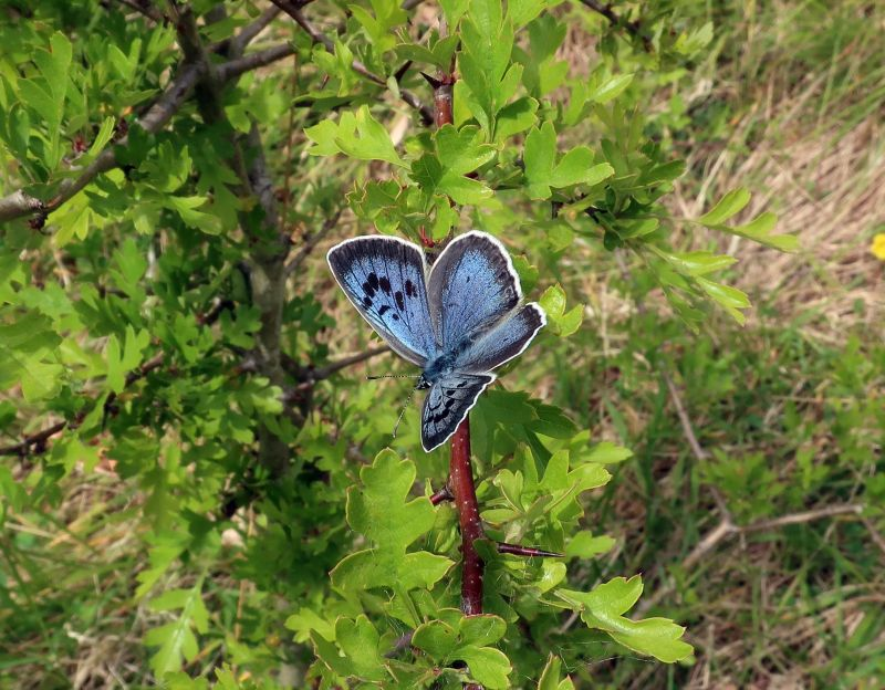 The project marks the largest ever reintroduction of large blues in the UK
