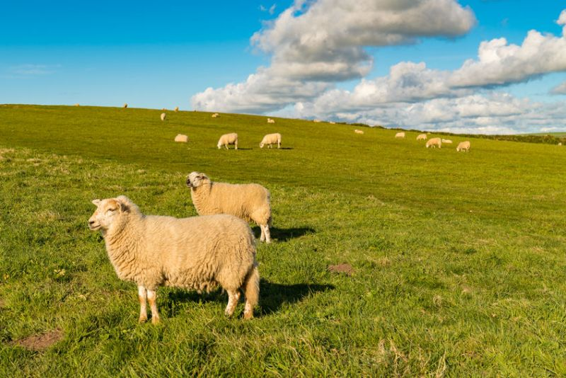 Fertility has been highlighted as a key priority on sheep farms in Wales