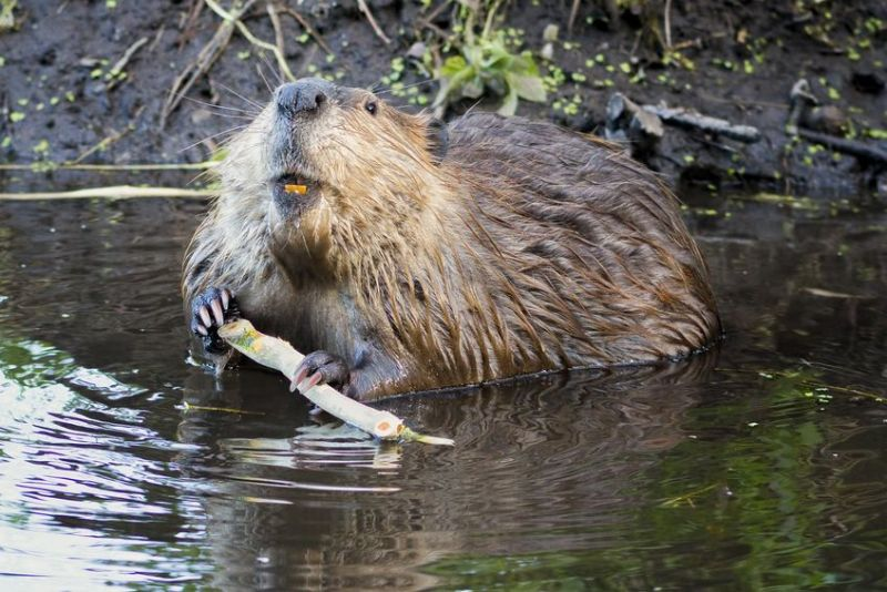 Defra has been urged by the NFU to work with farmers and other organisations to develop a long-term management plan for beavers
