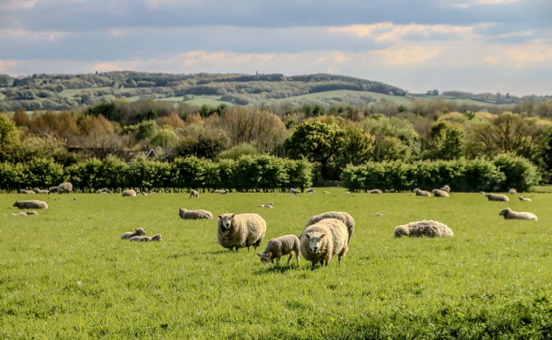 Heavier ewe lambs achieve higher scanning percentages, a new trial has shown