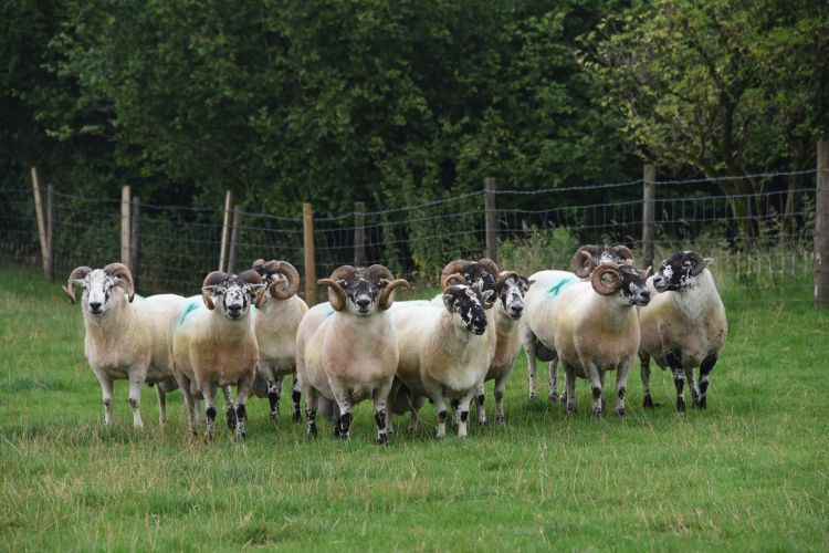 The Welsh Hill Sheep Breeding Index aims to help identify animals that thrive in the hill environment