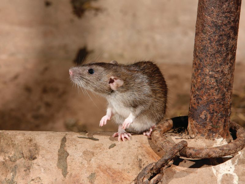 Both rats and mice can cause massive damage to electrical wiring, technology and the structure of the farm building