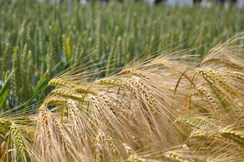 Trials have repeatedly shown hybrid barley to be more competitive against grass weeds than both winter wheat and conventional winter barley