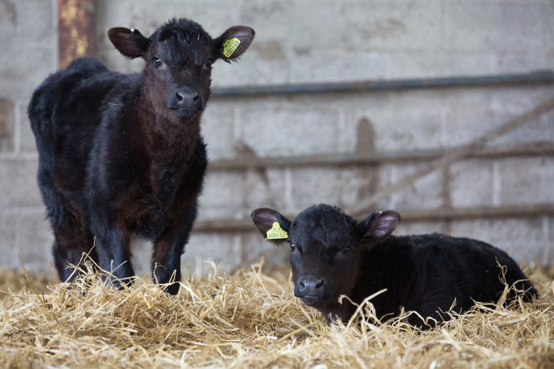Calves pick up coccidiosis oocysts readily from their environment