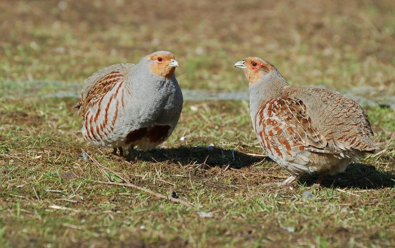 The Partridge Count Scheme has been keeping track of wild grey partridges on Britain's farmland since 1933