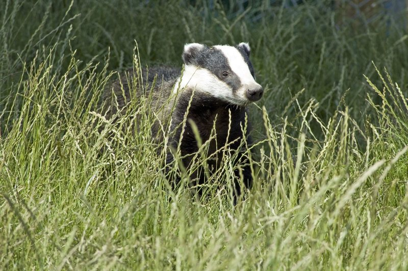 Natural England has licensed and authorised 11 new badger control areas to begin operations in 2020
