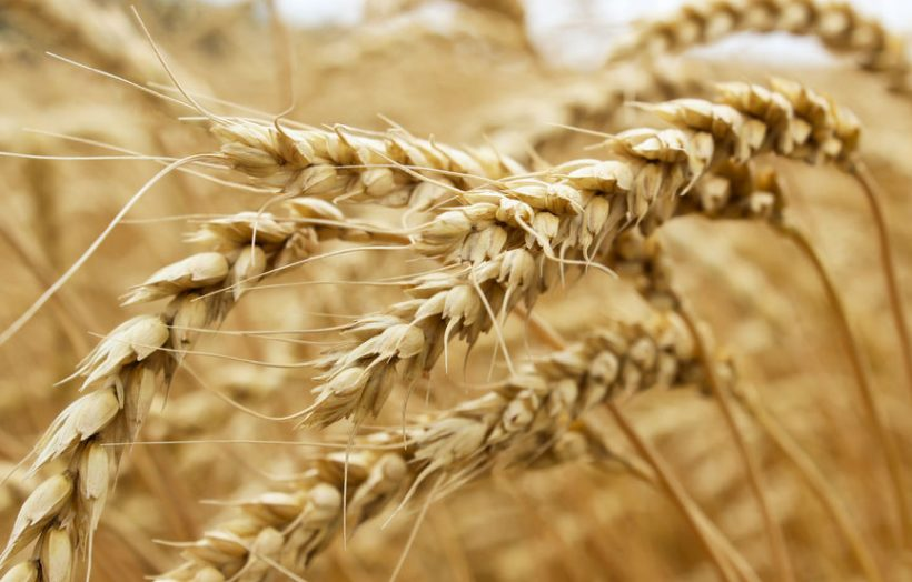 The study was largest genetic analysis ever done of any agricultural crop