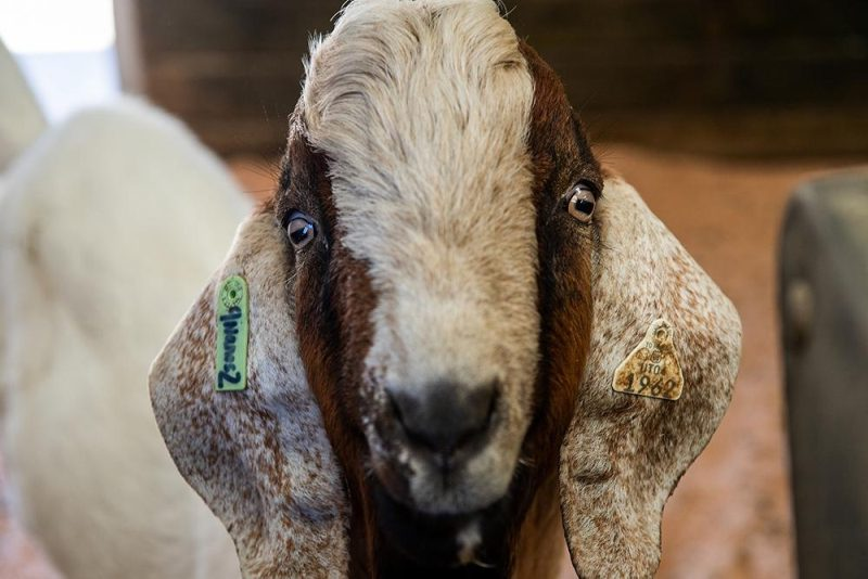 This gene-edited goat was able to produce sperm containing only genetic material from donor species (Photo: Washington State University)