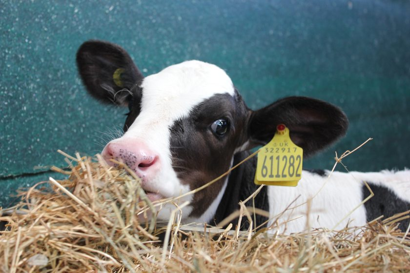 Farmers have found a range of uses for the climate-friendly product, such as lining calf pens