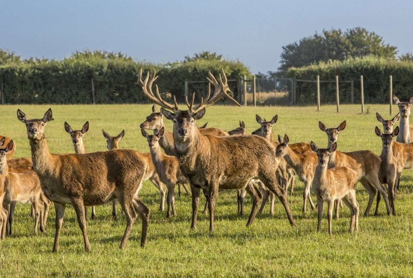 The family have farmed deer at Boldridge following the establishment of the herd using Badminton bloodlines in 1989 (Photo: Savills)
