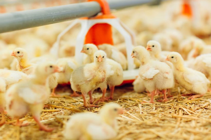 Researchers looked at nanotechnology and how it can be used use in the farmed animal feed sector to increase animal welfare and production