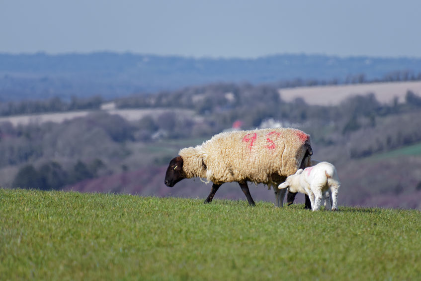Trade deals with New Zealand and Australia present the biggest risks for the UK sheep farming sector, the NSA says