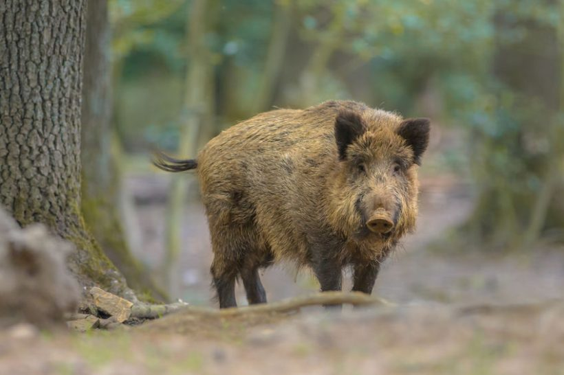 The total number of African swine fever cases in Germany now stands at 38 - all of them found in wild boar