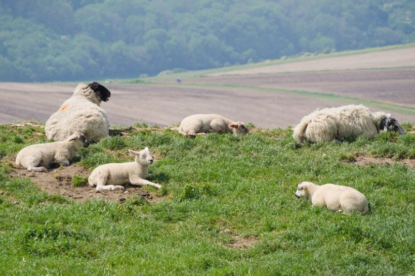 The sheep sector is considered to be the most vulnerable to a no-deal, with 89% of all sheep-meat exports finding their way to the EU