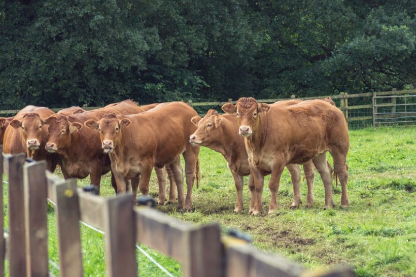 The Farmers' Union of Wales says it has received an 'angry reaction' following the publication of the National Beef Association's proposals
