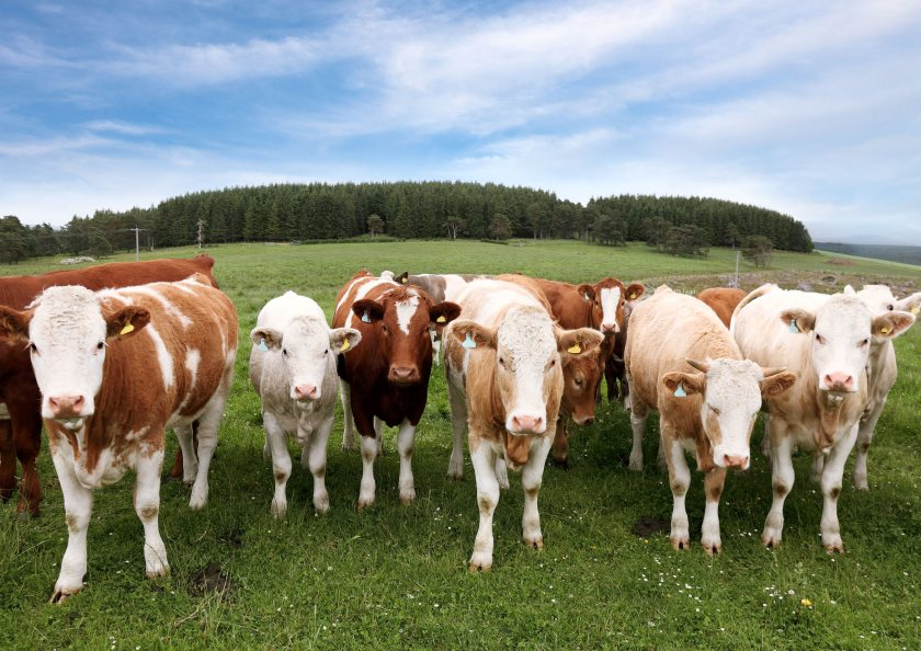 The study suggests that live talking is more relaxing for cows than a recording of a human voice