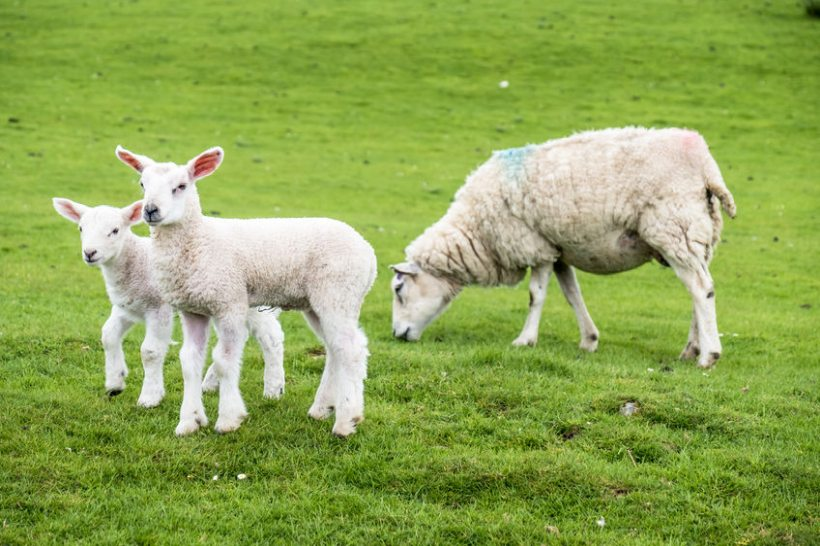 Improved productivity gas boosted Scotland's lamb crop, Scottish government census shows