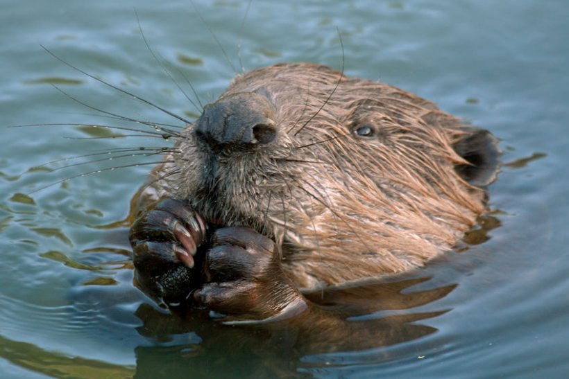 Welsh farmers say they are 'extremely worried' about the plan to release up to six beavers near farmland