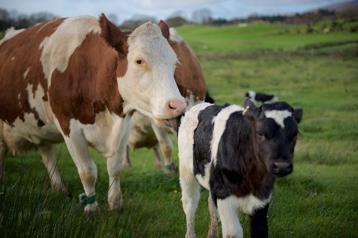 Researchers at Scotland's Rural College want to learn more about cow-with-calf dairy system