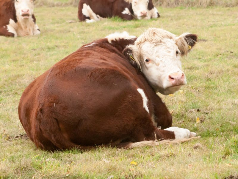 From December 2020, TB herd restrictions are to return to seven days for overdue tests