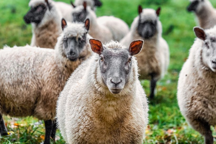 The location of genes that control crucial traits like health, meat and wool quality have been identified