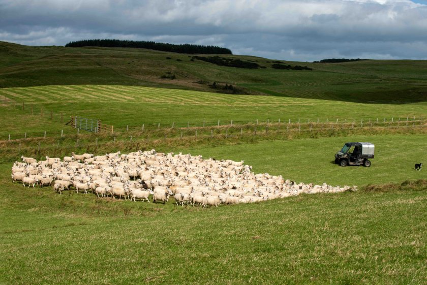 Southfield Farm near Hawick is the new home for Innovis' 1,400-strong performance flock