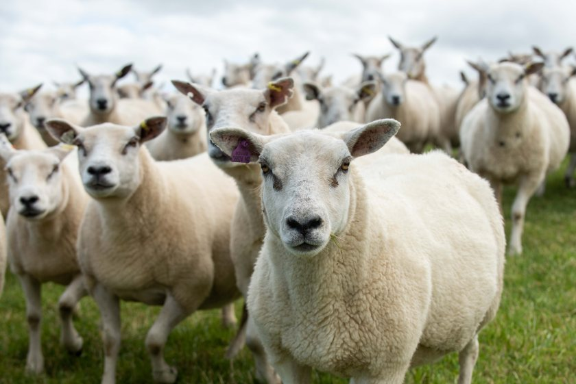 The flock's new home will provide opportunities to measure additional traits such as methane outputs