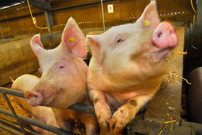 Studies of infection in pigs showed the value of breeding for disease resilience