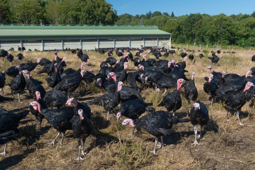 The seasonal turkey sector recently warned of a Christmas shortage without non-UK labour