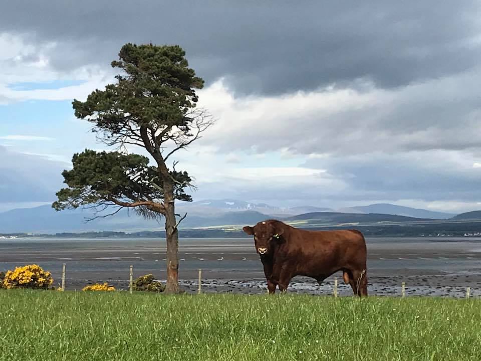 The family currently run 100 pedigree Shorthorn cows under the Fearn prefix which was founded in 1995