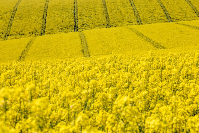 The oilseed rape area continues its downward trajectory, according to a new survey