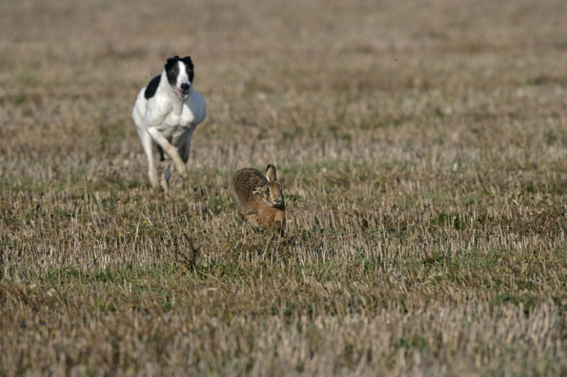 Hare coursers often have no regard for farmers, causing thousands of pounds of damage to crops
