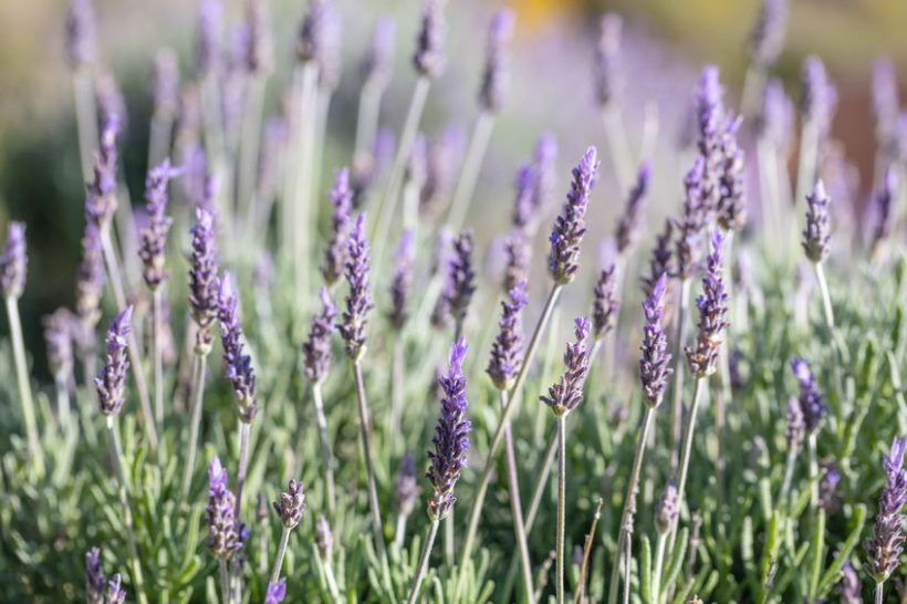 The aim of the research is to manipulate the levels of essential oils in crops such as lavender