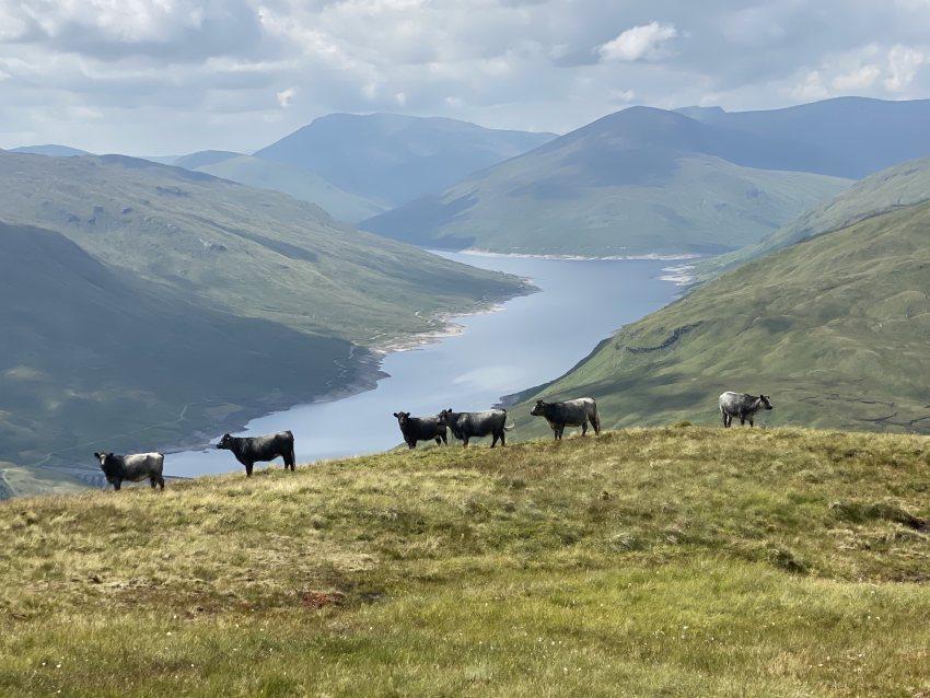 Porter family's Blue Greys grazing 2,834ft above sea level on An Grianan, Glen Lyon