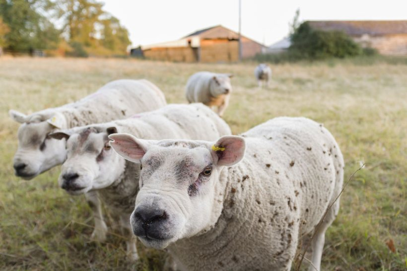 Northern Irish farmers rely heavily on sourcing breeding stock from the British mainland