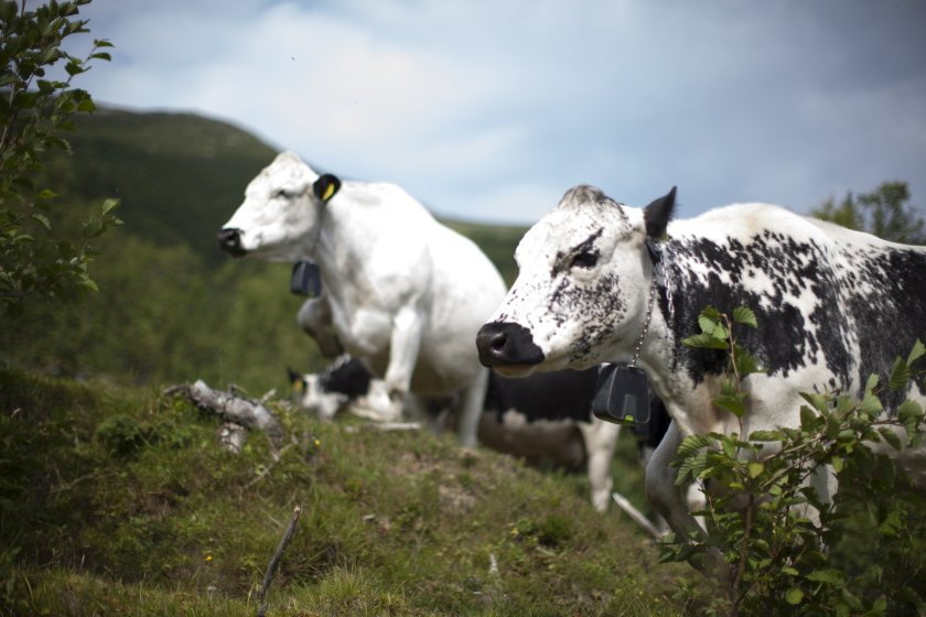 The collars make a sound that increases up to a defined tone when the animal leaves the grazing area