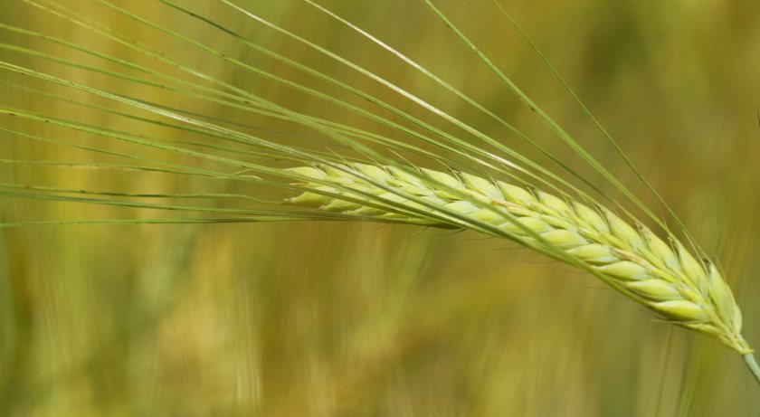 Smart sensors will continuously measure grain as it flows through the combine harvester