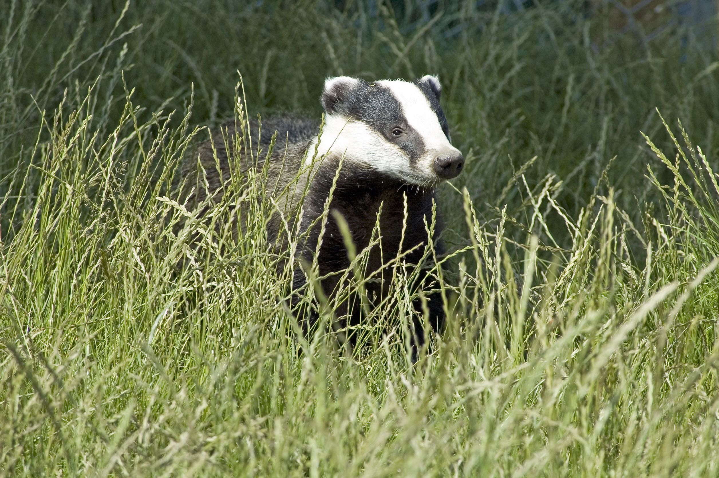 The survey wants to establish a true record of badger populations in Scotland