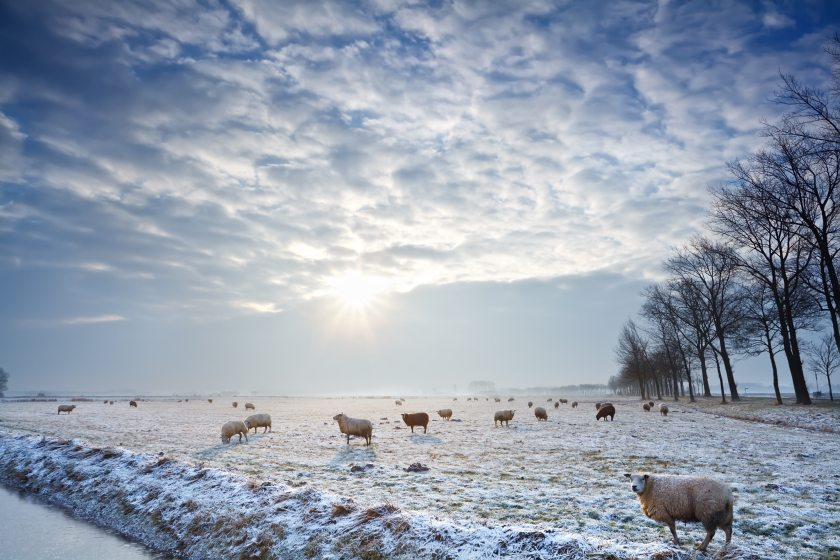 The majority of plant poisonings in sheep occur in winter when grass is scarce
