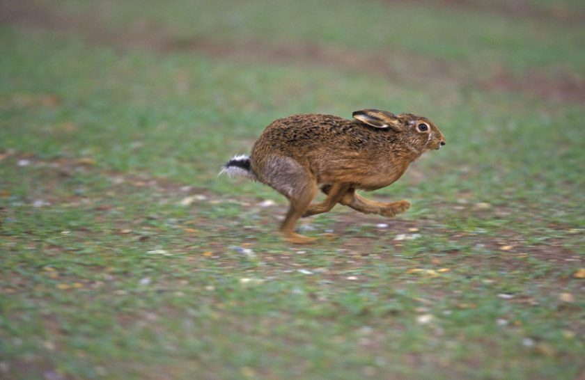 Campaigners are seeking tougher laws against hare coursing and poaching