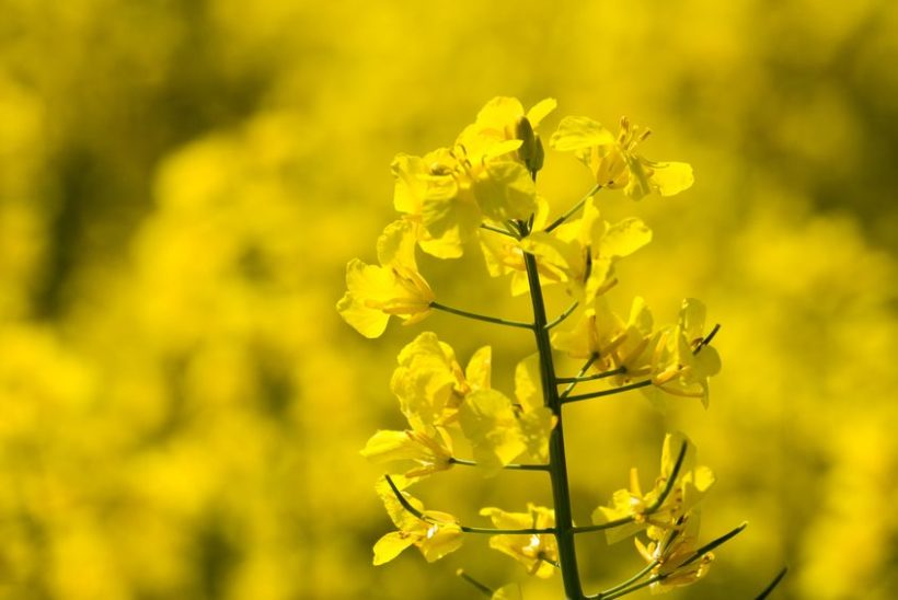 Future crops could be better designed to flower at climatically opportune times