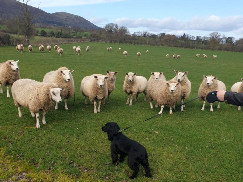 British farmers have witnessed a sharp rise in livestock worrying incidents recently