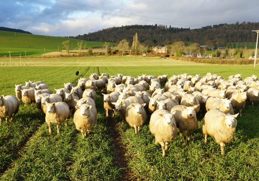 The project looked at grazing winter cereals with sheep