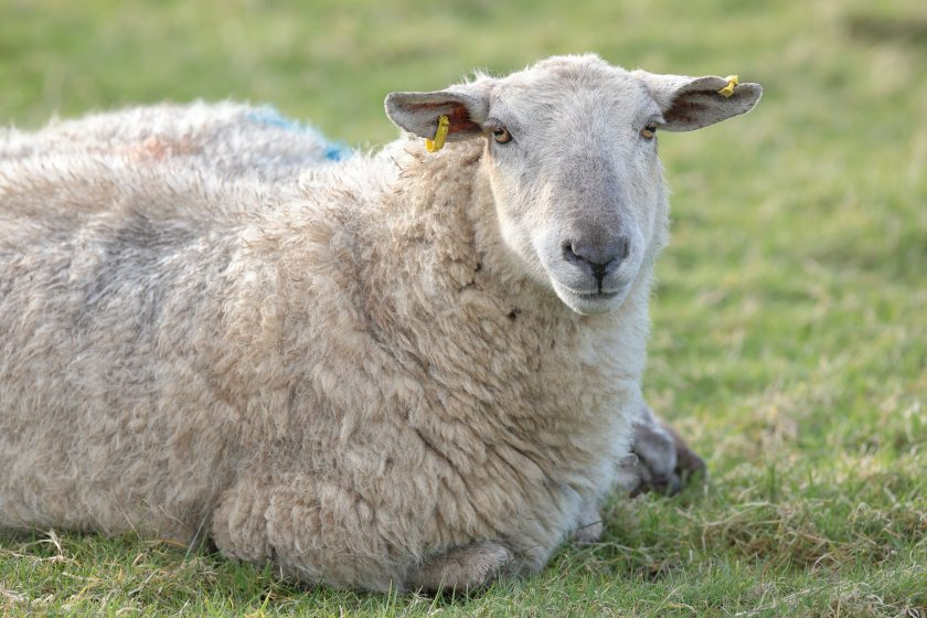 The Ulster Farmers' Union is urging farmers to be supportive of Ulster Wool following a 'difficult year'