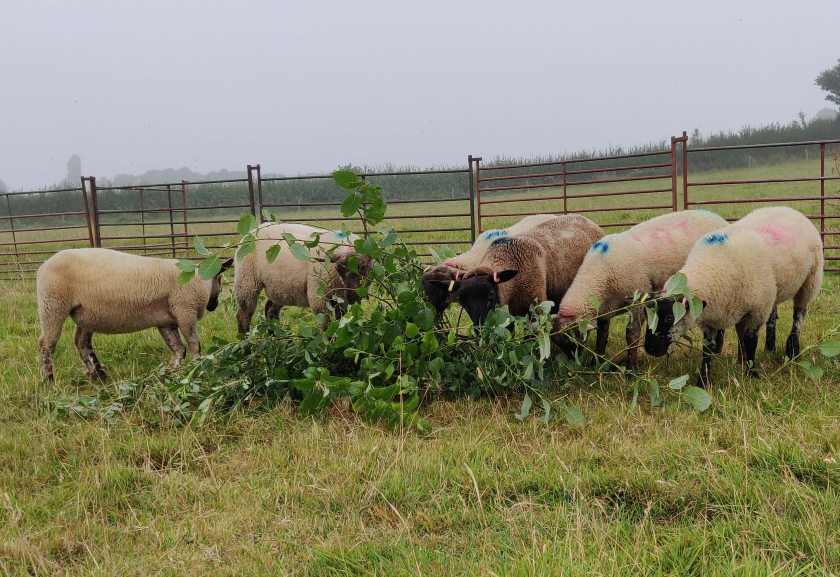 Scientists say feeding tree leaves to sheep could help cut greenhouse gases