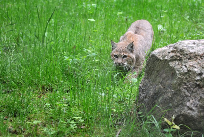 The Lynx to Scotland consultation will run from January 2021 to February 2022